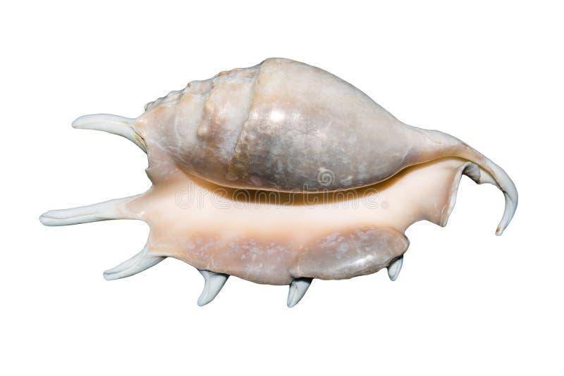 Zeeschelp op witte achtergrond Exotische overzeese shell met aren royalty-vrije stock foto's