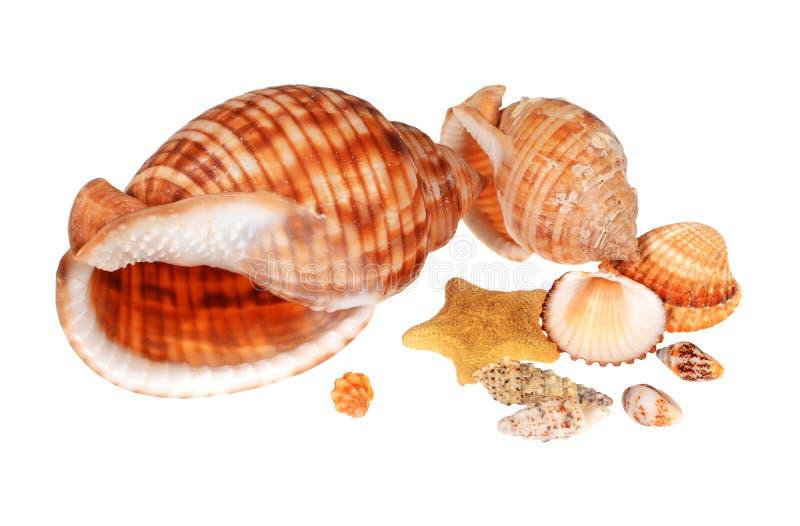 Download Zeeschelpen stock afbeelding. Afbeelding bestaande uit overzees - 29501185