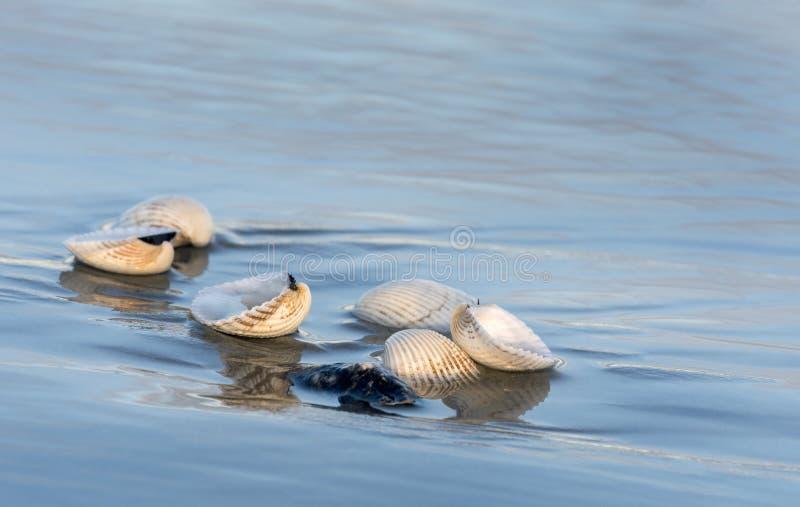 Zeeschelpen bij lage getijden op het strand op Hilton Head Island, South Carolina stock afbeeldingen