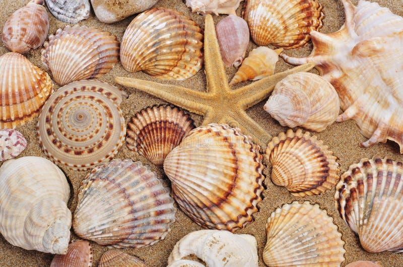 Zeeschelpen en seastar op het zand royalty-vrije stock afbeelding