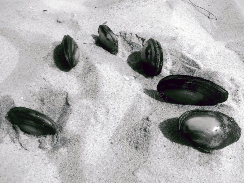 Zeeschelpen in het zand stock afbeelding