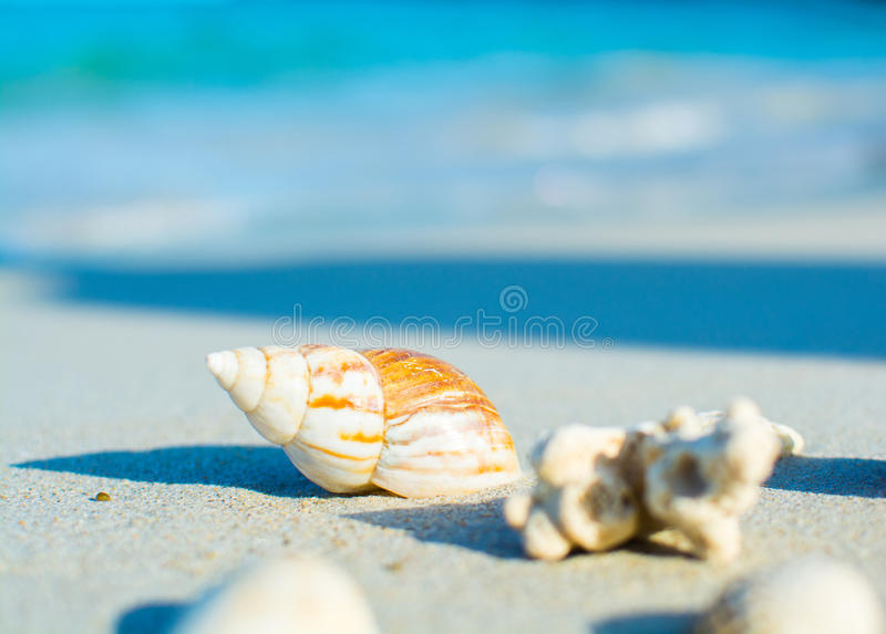 Zeeschelpen op de kust Drie overladen zeeschelpen op een zandig strand, met seafoamwas over hen stock fotografie