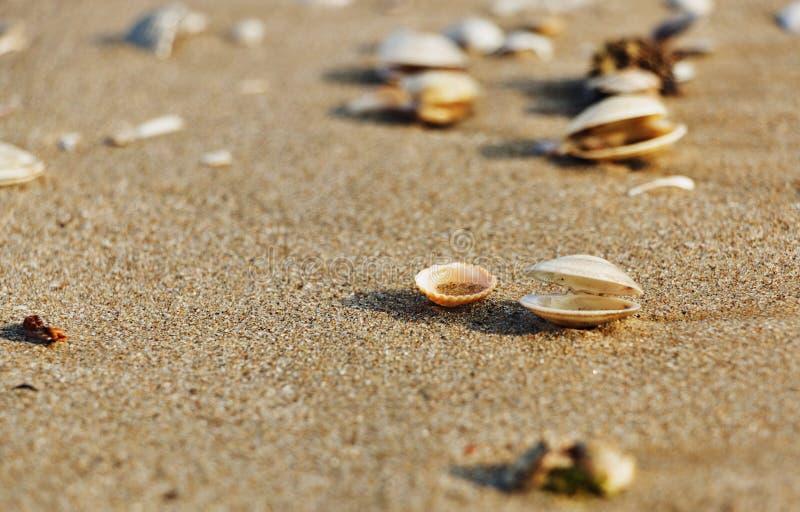Zeeschelpen op het strand stock foto