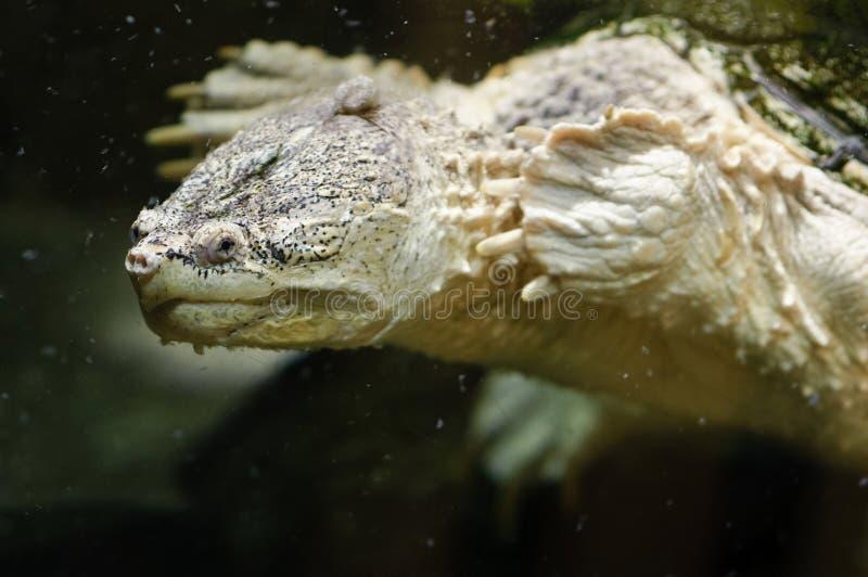 Download Zeeschildpad stock foto. Afbeelding bestaande uit onderwater - 39109310