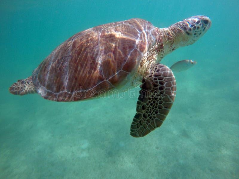 Zeeschildpad in Akumal mexico stock afbeeldingen