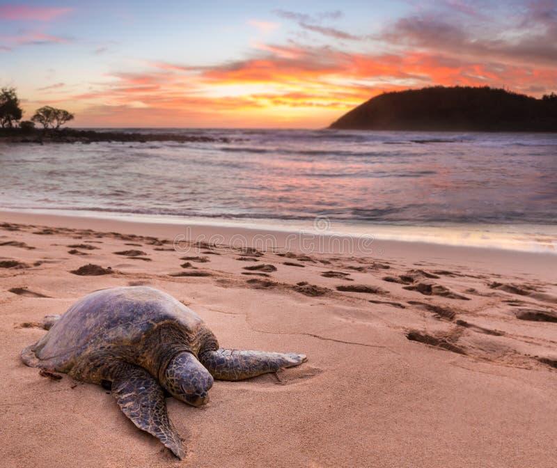 Zeeschildpad bij Moloa'a-Strand, Kauai, Hawaï royalty-vrije stock afbeeldingen