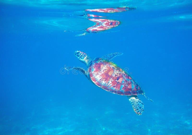Zeeschildpad in blauw water van tropische lagune Groene schildpad onderwaterfoto Wild marien dier in natuurlijk milieu royalty-vrije stock afbeelding