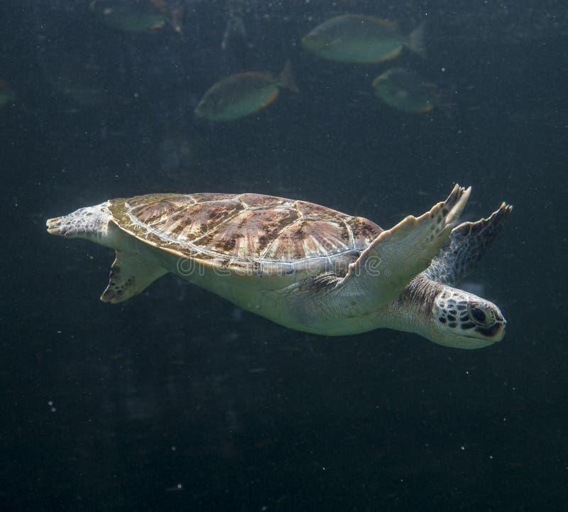Zeeschildpad Chelonioidea stock foto