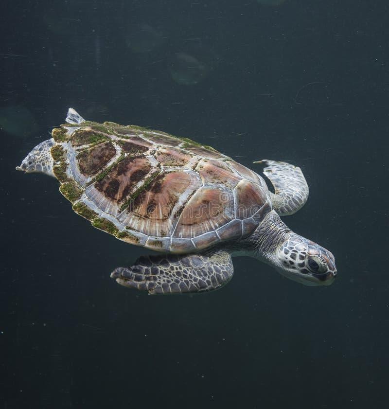 Zeeschildpad Chelonioidea stock fotografie