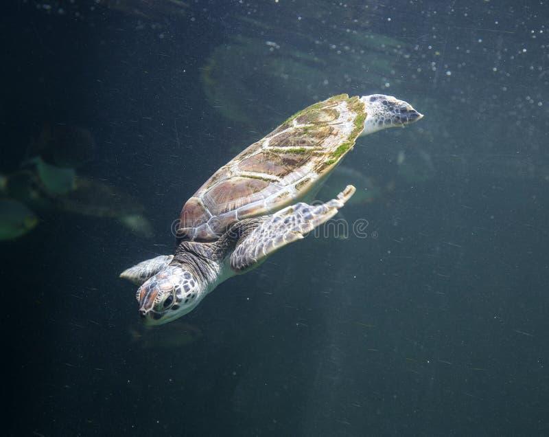 Zeeschildpad Chelonioidea stock afbeelding