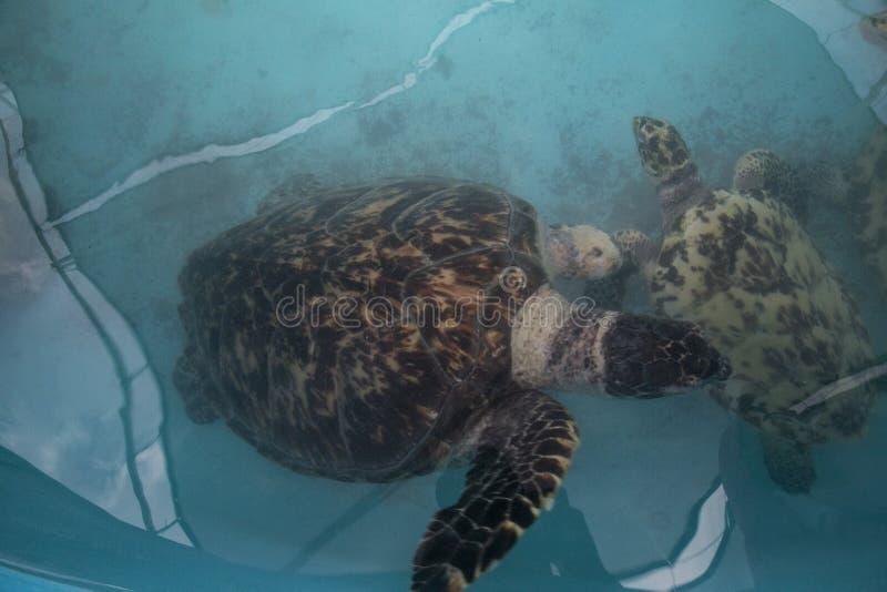 zeeschildpad, Chelonioidea & x28; Chelonioidea& x29; zijn een schildpad superfamily bestaand uit zeeschildpadden stock afbeeldingen