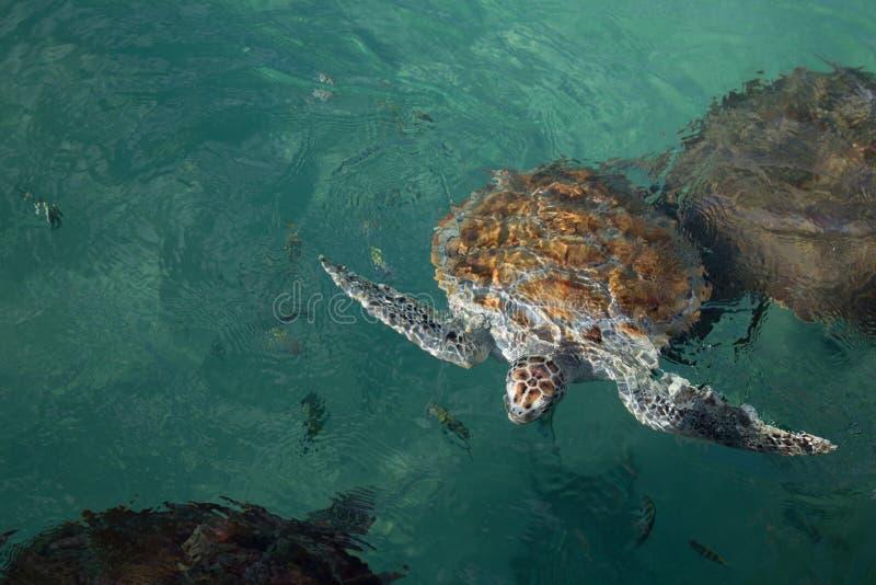 Zeeschildpad dichte eerlijke hoofd en vinnen aan oppervlakte van water stock foto