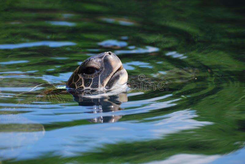 Zeeschildpad die een Adem nemen terwijl het Zwemmen royalty-vrije stock fotografie