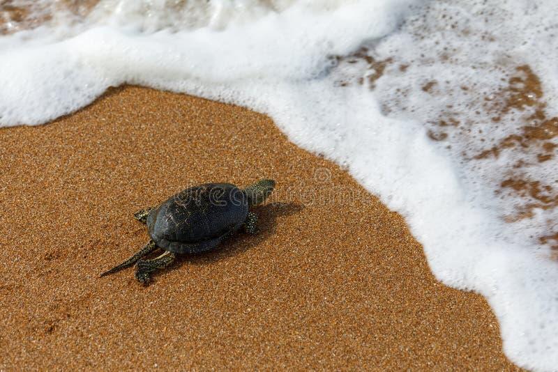 Zeeschildpad die in het overzees kruipen stock foto