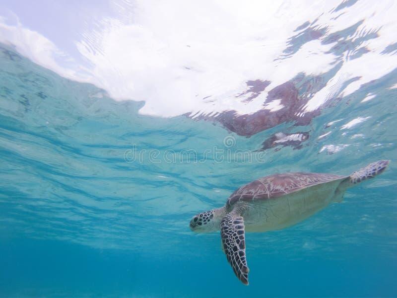 Zeeschildpad die vrij in de blauwe oceaan zwemmen royalty-vrije stock foto's