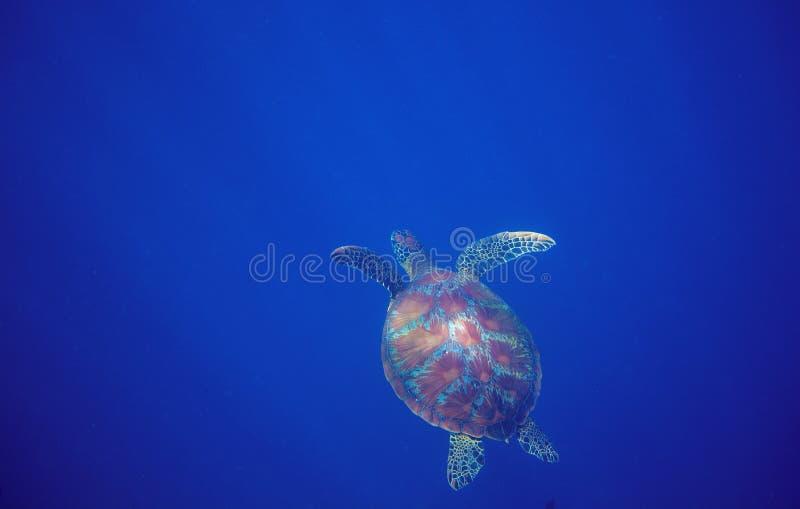 Zeeschildpad in diep open water Groene zeeschildpadclose-up Het wild van tropisch koraalrif stock afbeelding