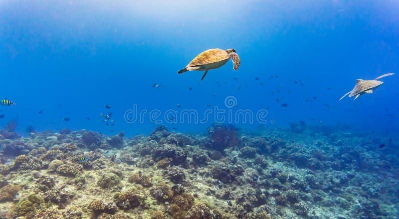 Zeeschildpad en vele vissen bij tropische ertsader onder water royalty-vrije stock afbeelding