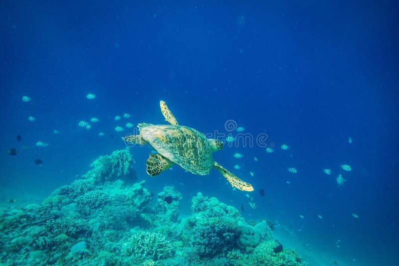Zeeschildpad, Gilli-Eiland, lombok royalty-vrije stock afbeeldingen