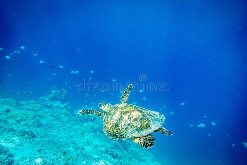 Zeeschildpad, Gilli-Eiland, lombok stock foto