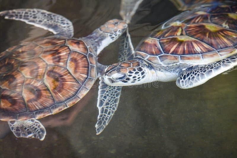 Zeeschildpad/groene schildpad die op het landbouwbedrijf van de watervijver zwemmen stock foto's