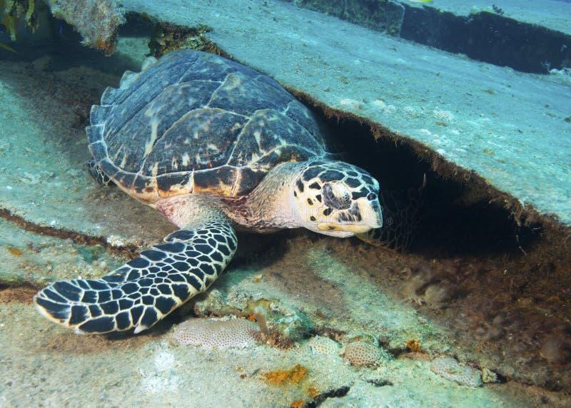 Zeeschildpad het Krassen royalty-vrije stock afbeelding