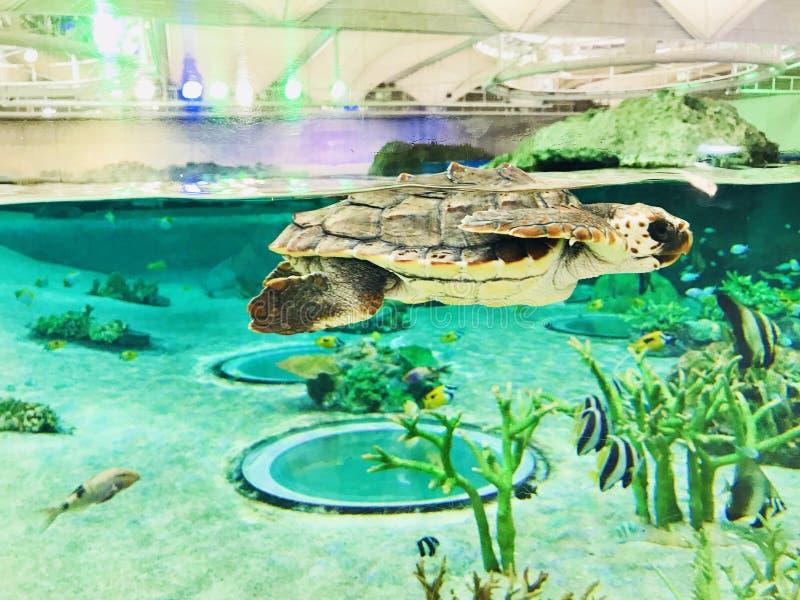 Zeeschildpad of Mariene schildpad stock fotografie