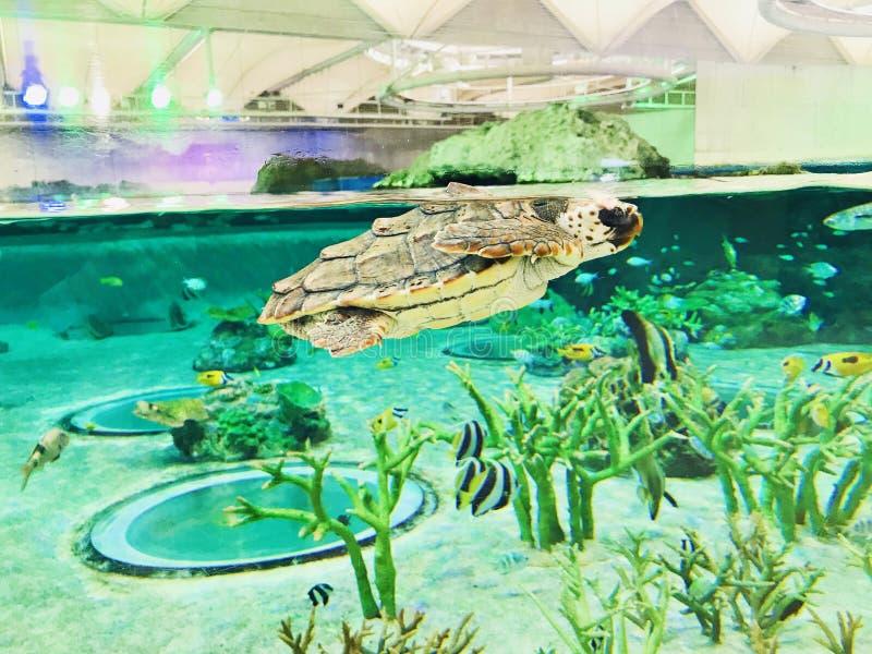 Zeeschildpad of Mariene schildpad royalty-vrije stock afbeelding