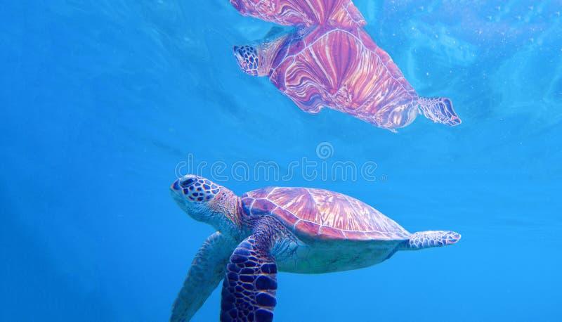 Zeeschildpad onder waterspiegel Zwemmende schildpad in blauwe kust Overzeese schildpad snorkelende foto royalty-vrije stock fotografie