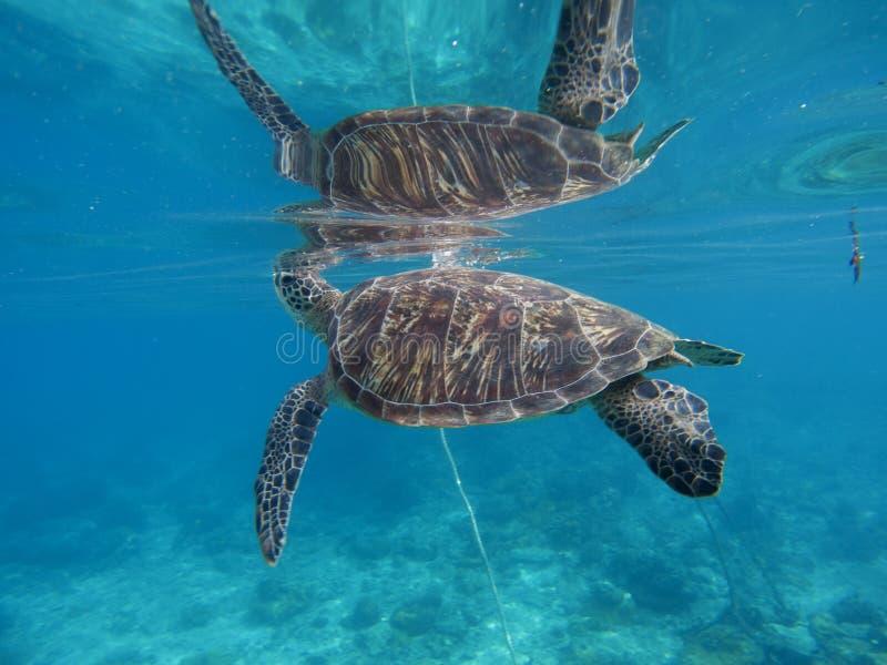 Zeeschildpad onderwater met zijn gedachtengang in waterspiegel Groene schildpadclose-up royalty-vrije stock afbeeldingen