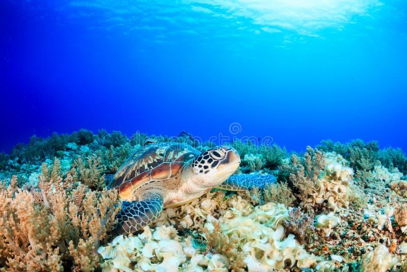 Zeeschildpad op een tropisch koraalrif met hierboven zonnestralen stock fotografie