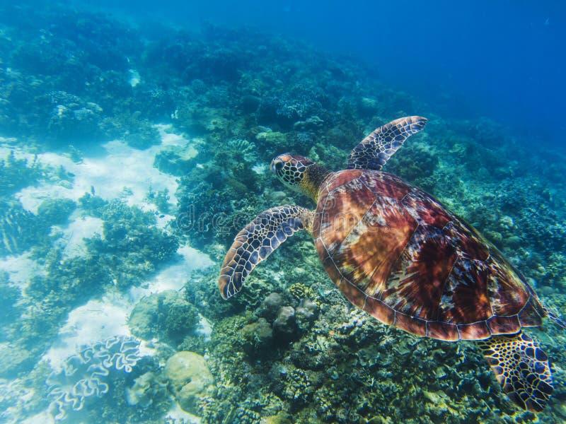 Zeeschildpad in tropische kust onderwaterfoto Leuke groene onderzeese schildpad stock afbeeldingen