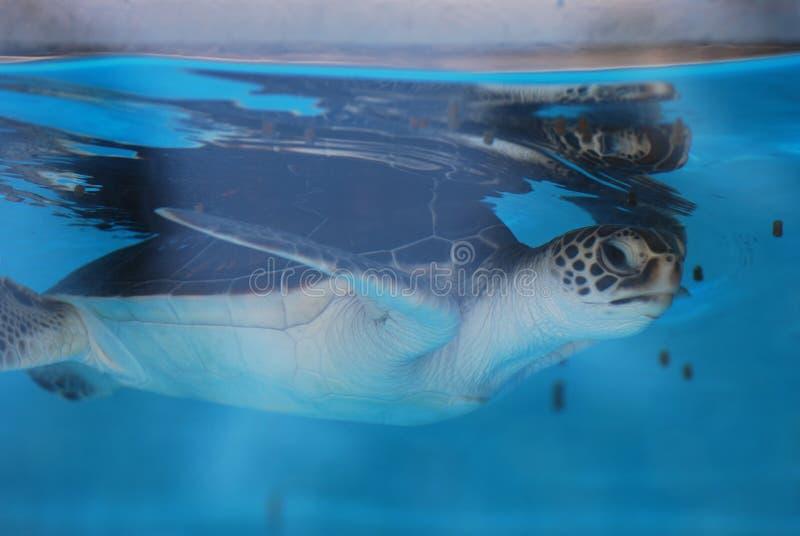 Zeeschildpadbaby die onder Water& x27 zwemmen; s Oppervlakte stock afbeelding