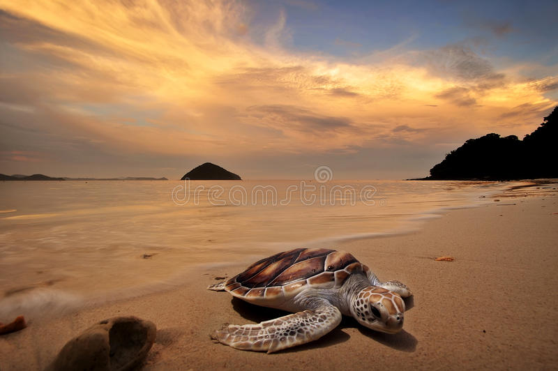 Zeeschildpadden royalty-vrije stock foto's