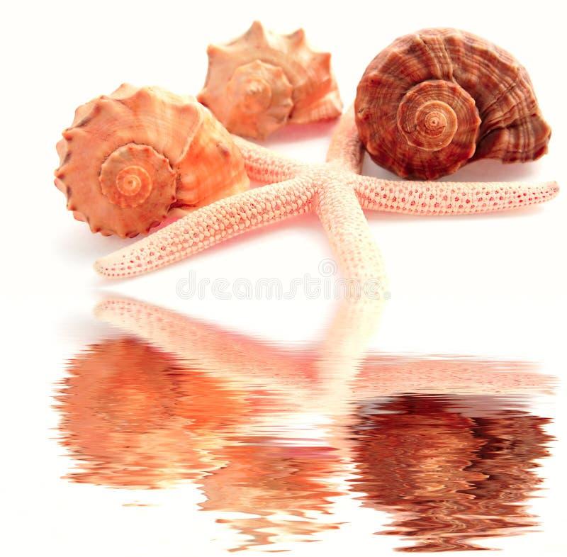 Zeester en shells stock illustratie