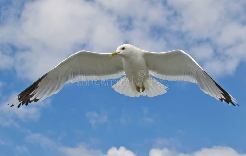 Download Zeevogel stock foto. Afbeelding bestaande uit wijd, nave - 29511924