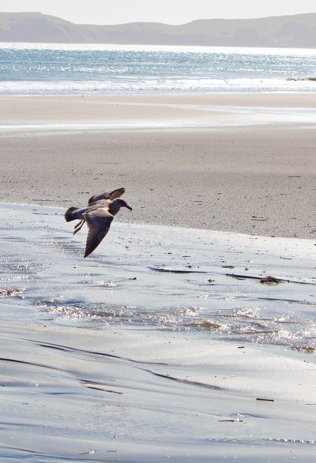 Zeevogel die boven strand vliegen stock foto's
