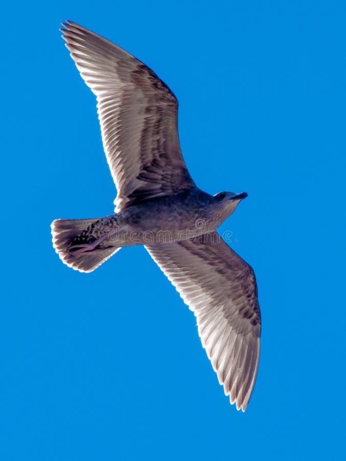 Zeevogel in Hemel stock afbeelding