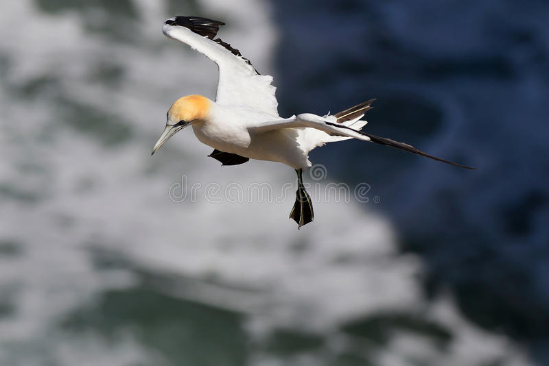 Zeevogeljan-van-gent royalty-vrije stock afbeeldingen