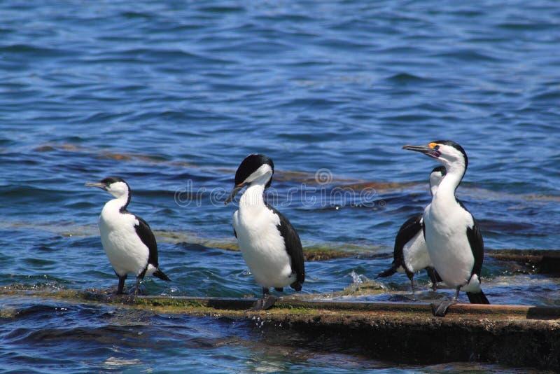 Zeevogels, aalscholvers, tribunes op een platform royalty-vrije stock afbeeldingen
