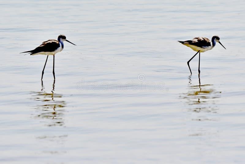 Zeevogels tijdens de vlucht bij de Kust in Saudi-Arabië stock afbeelding