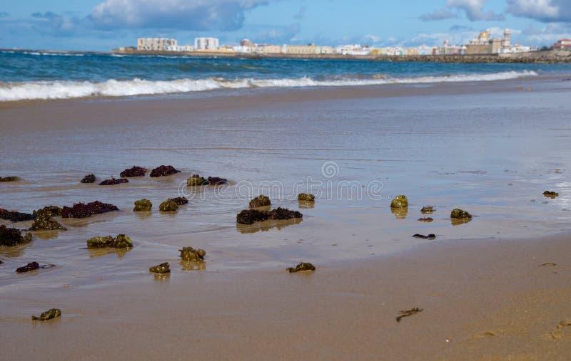 Zeewier op het strand van Cadiz stock foto's