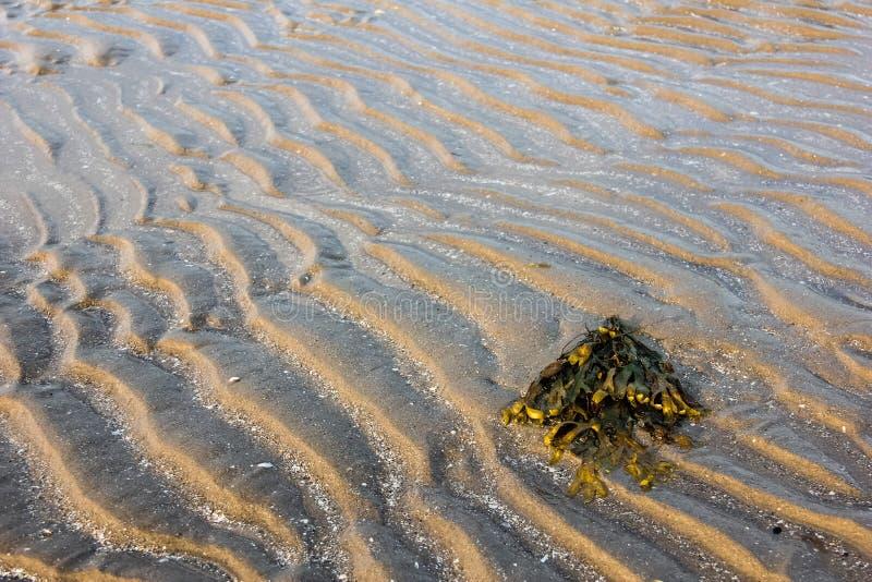 Zeewier op het zand royalty-vrije stock afbeeldingen