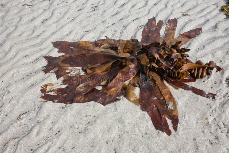 Zeewier op strandzand stock afbeeldingen