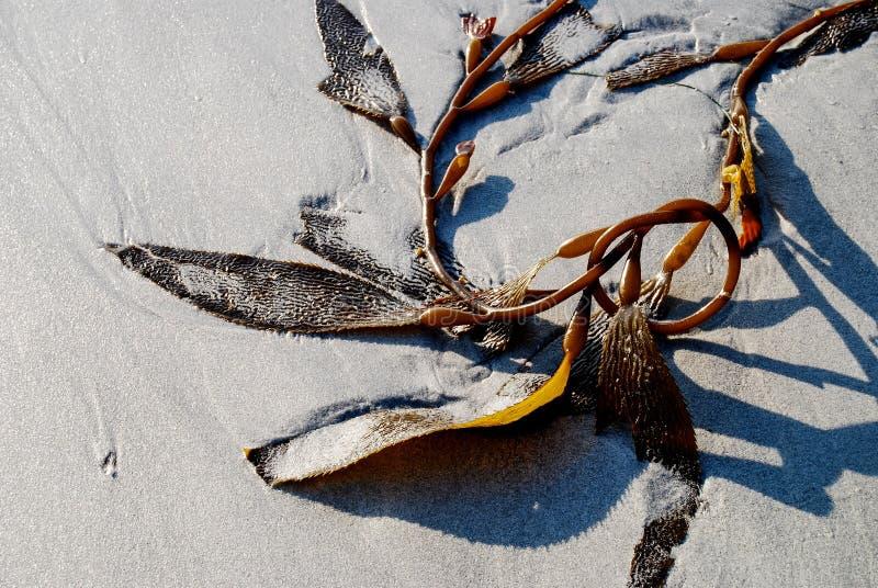 Zeewierkelp op zandig strand stock fotografie