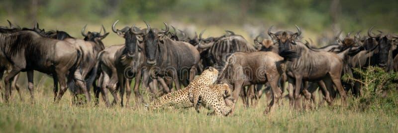 Zegarek stadny dwa gepardy atakuje niebieskie dzikie zwierzę fotografia stock