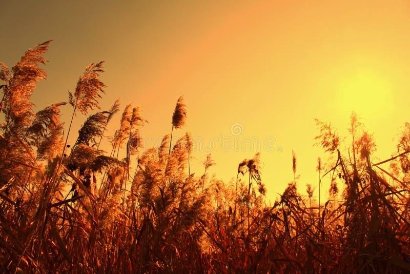 Zegge in de oranje hemel en de zon royalty-vrije stock afbeeldingen