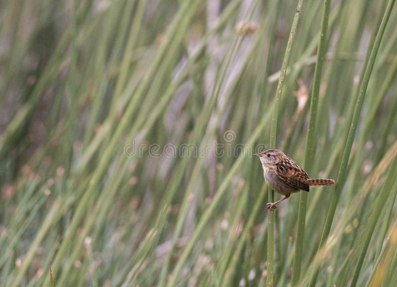Zeggewinterkoning, roitelet d'herbe, platensis de Cistothorus images stock