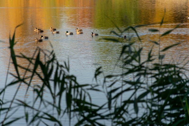 Zehn Enten schwimmen auf einen Stadtsee stockbild