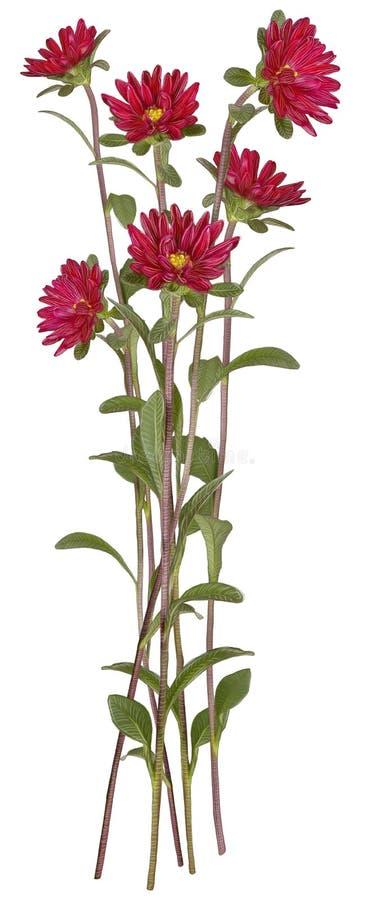 Zeichnung der roten Asterblume lizenzfreie stockfotos