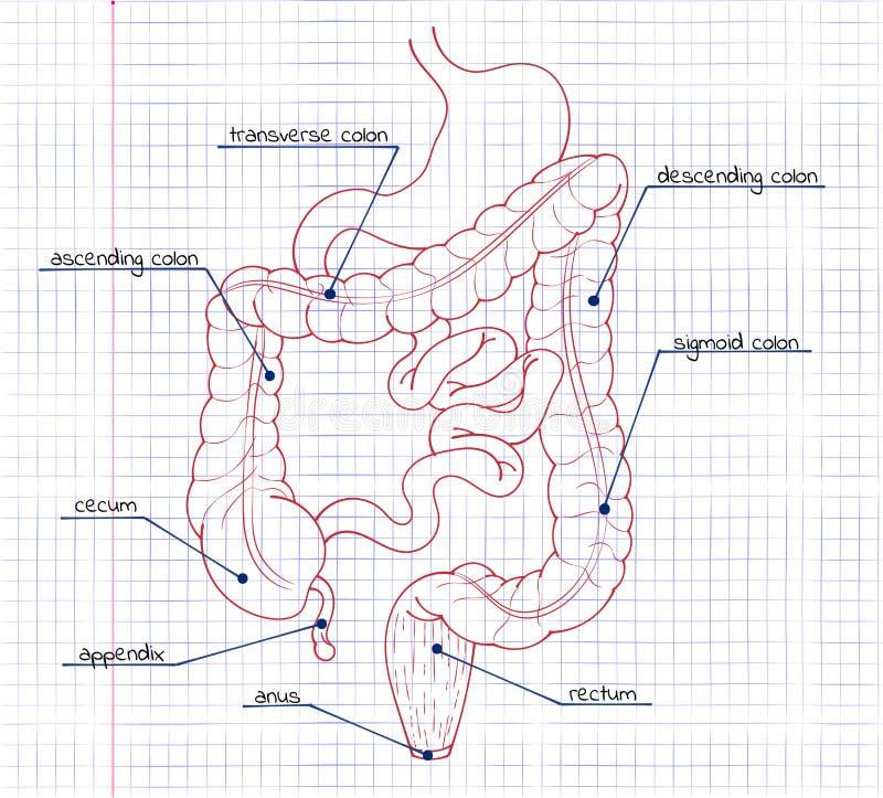 Zeichnung Des Verdauungssystems Vektor Abbildung - Illustration von ...